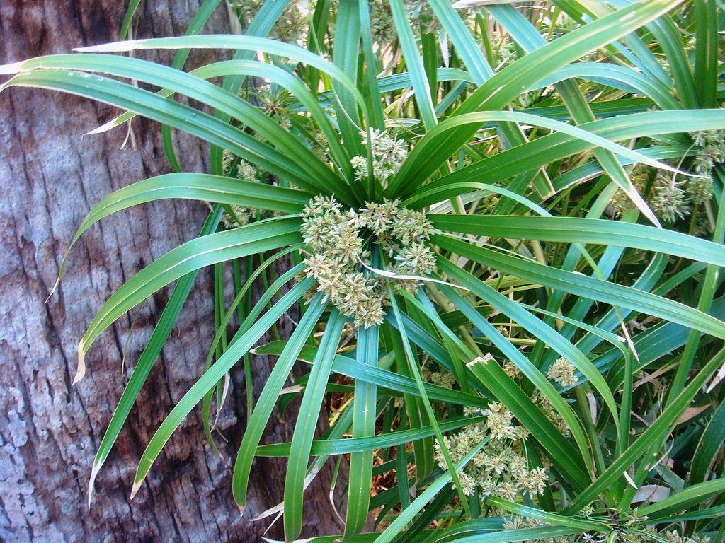 Cyperus alternifolius, planta acuática para rivera o margen del estanque