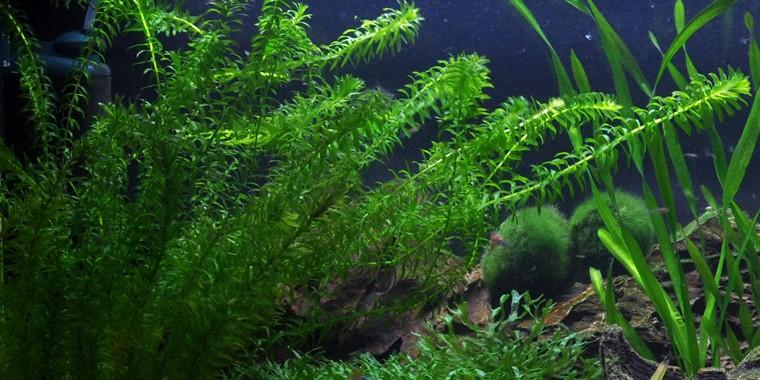 Pond plants: Elodea Canadensis Michx