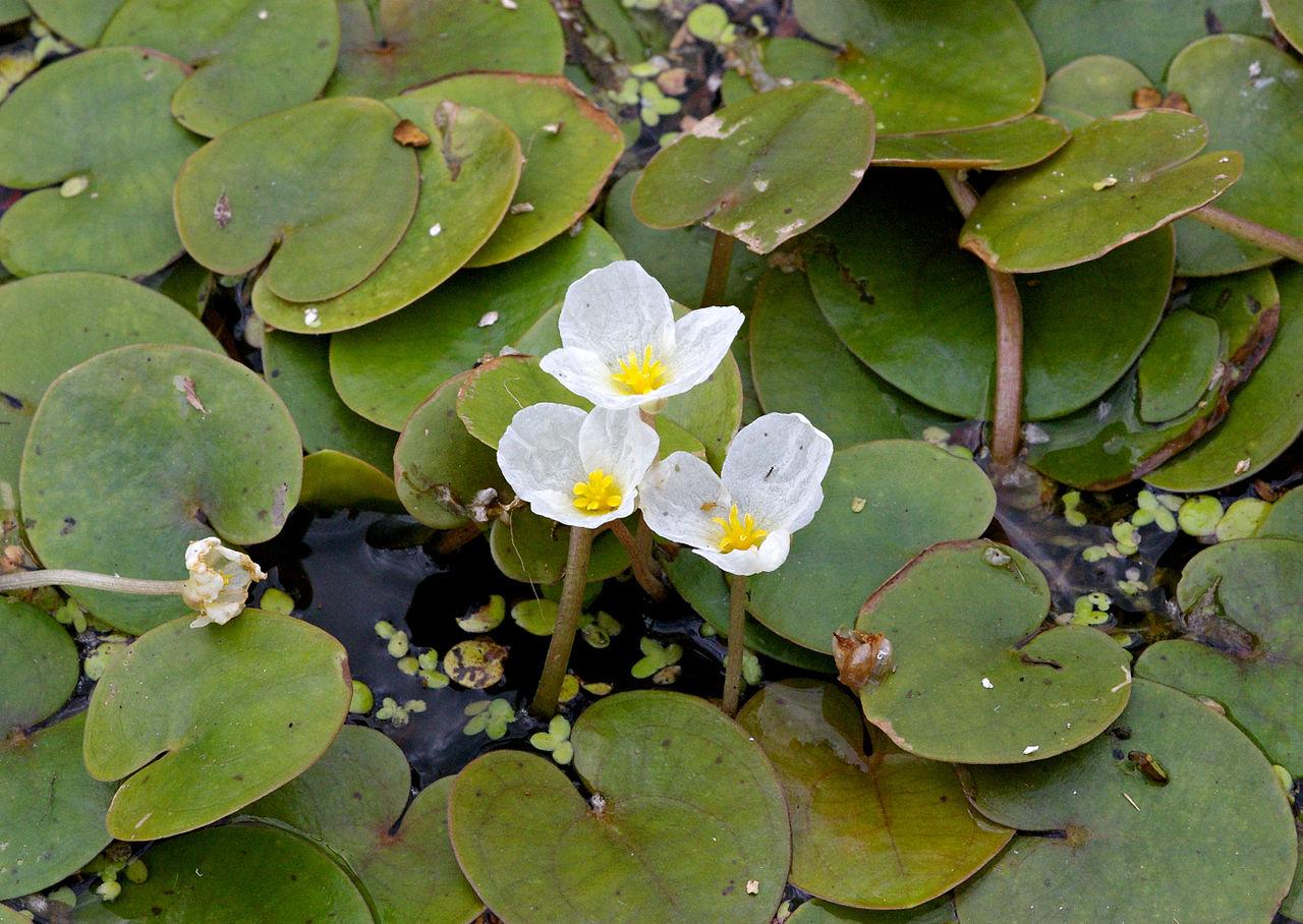 La Schoenoplectus lacustris-planta acuática