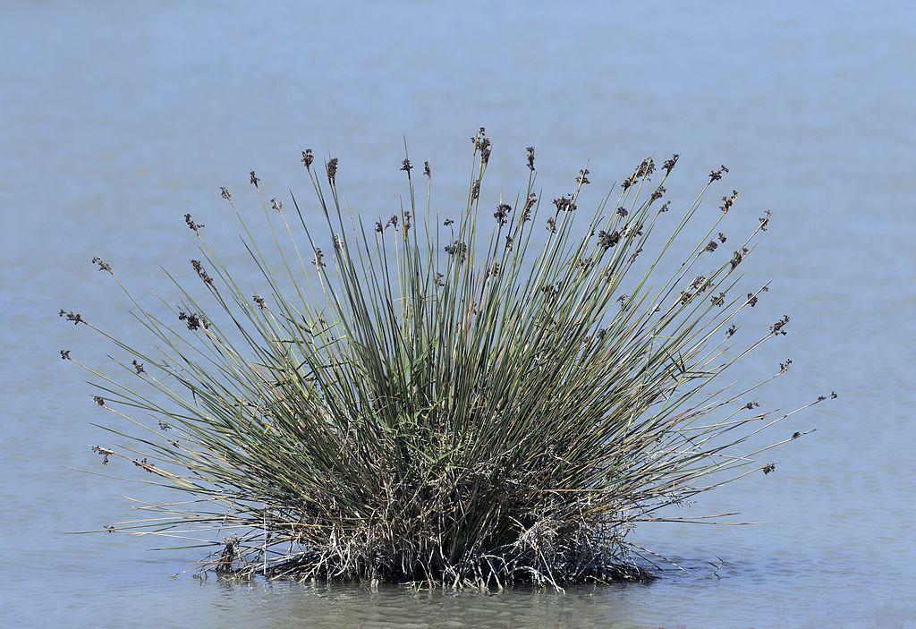 El Juncus maritimus-Plantas para estanques
