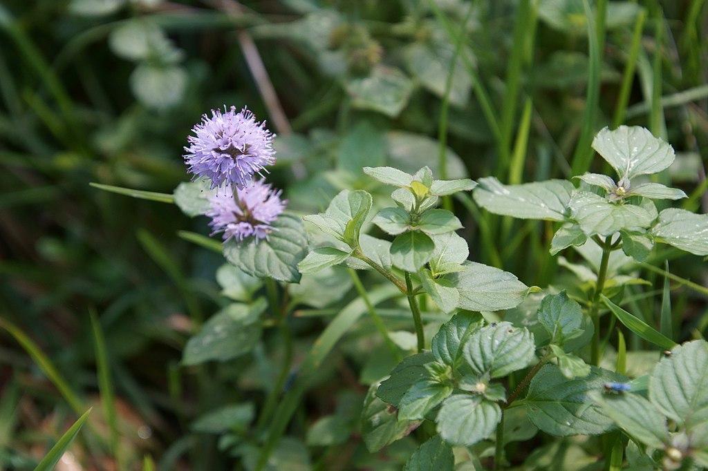 Mentha aquatica-Plantas para estanques