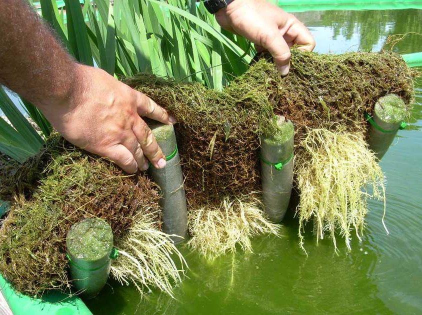 Plantas macrofitas para estanques