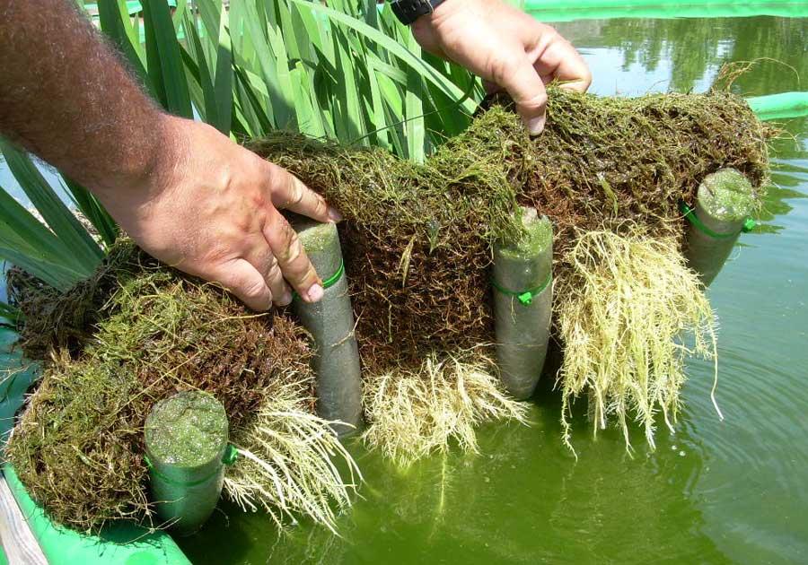 Plantas macrófitas para estanques