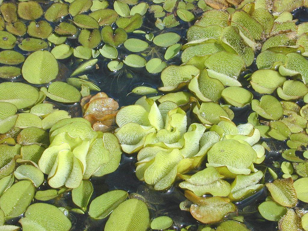 Salvinia_molesta_Plantas para estanques