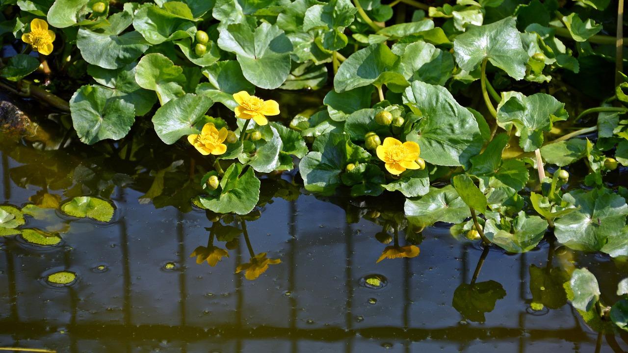 Caltha palustris or Calta palustre-Plantas de estanque