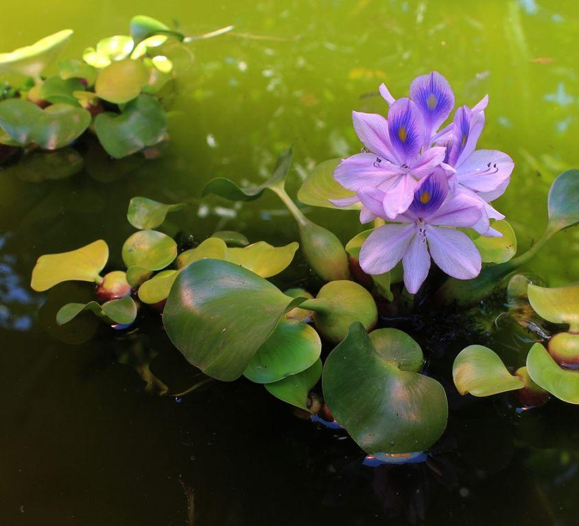 el jacinto de agua en el estanque