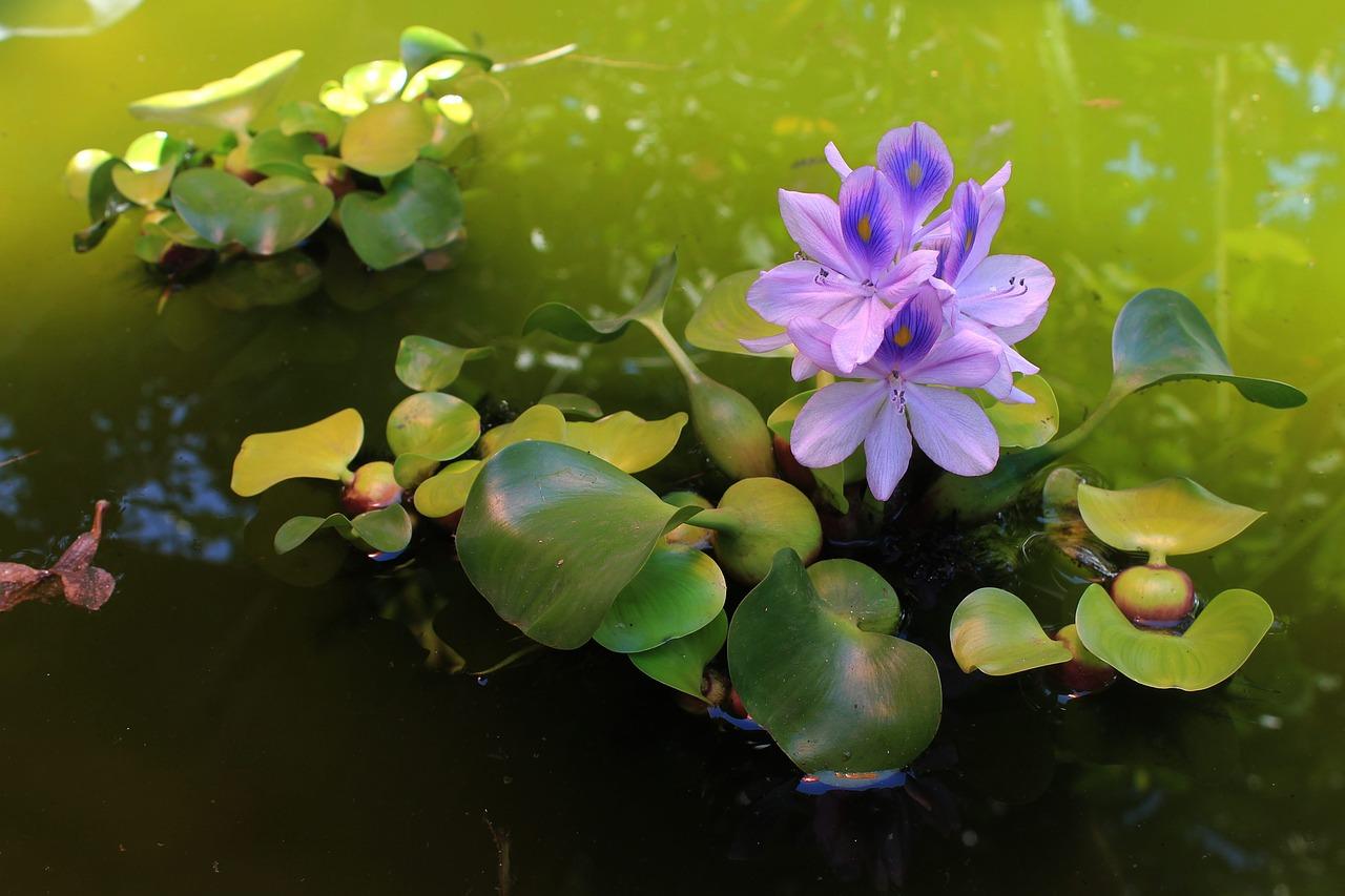 El Jacinto de agua-Estanques Planta Flotante