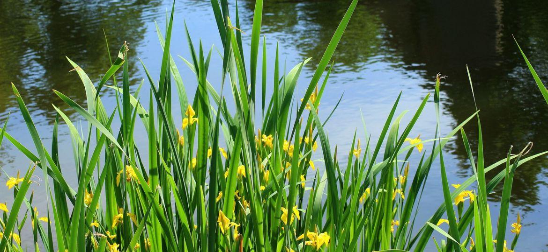 iris-pseudacorus-yellow