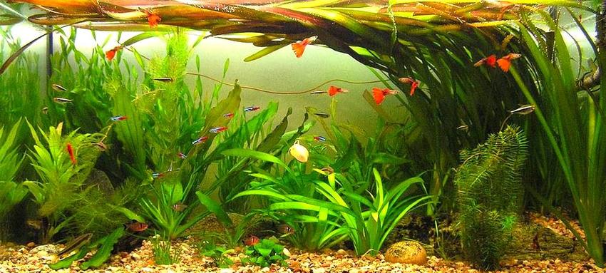 Vallisneria gigantea-Vallisneria gigantea-Plantas de estanque